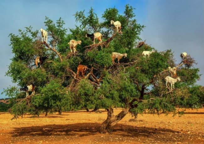 Έχετε δει ποτέ κατσίκες να βόσκουν πάνω σε κλαδιά δέντρων; [ΕΙΚΟΝΕΣ & ΒΙΝΤΕΟ]