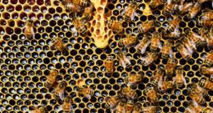 οι μέλισσες υπό εξαφάνιση
