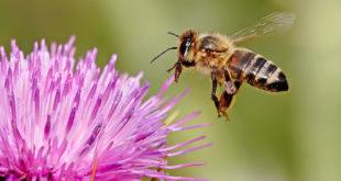 Η μέλισσα ανακηρύχθηκε το πιο σημαντικό έμβιο ον στον πλανήτη. Οι επιστήμονες προειδοποιούν ότι έχει αφανιστεί το 90%. Νούμερο ένα κίνδυνος τα κύματα της κινητής τηλεφωνίας